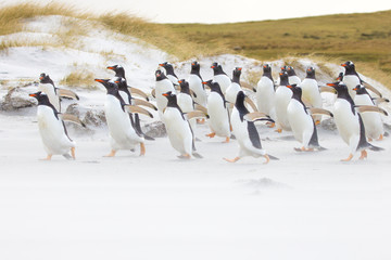 Gentoo penguin colony running along the beach