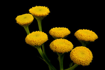 Printed roller blinds Flower shop Boerenwormkruid -Tanacetum vulgare