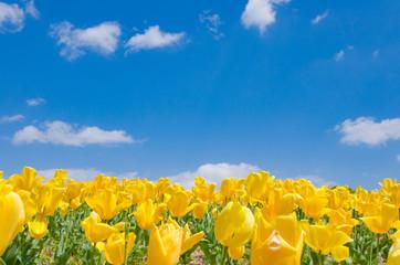 青空と黄色いチューリップ