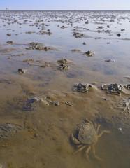 Krabbe im Watt mit Wattwurmhaufen und Pärchen