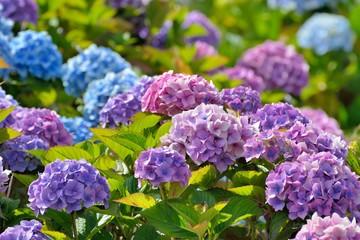 Hortensias de plusieurs couleurs . Bretagne