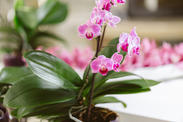 Pink orchid growing at interior