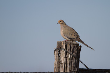 Mourning Dove on a barbed-wire fence in a southern Colorado ranch