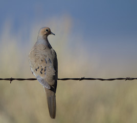 Mourning Dove on a barbed-wire fence at dawn