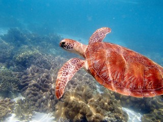 turtle in Ausralia