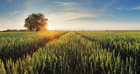 Wheat field at sunset Wall mural
