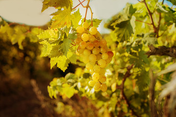 white grapes outdoors