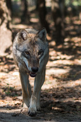 Eurasian wolf in the Forest