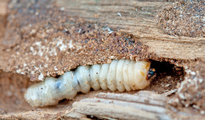 little woodworm