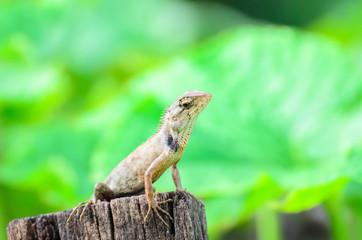 Chameleon In nature.