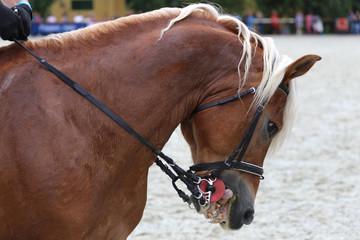 Portrait of a dressage  horse on nature background
