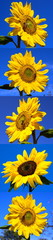 5 Sonnenblumen vertikal (Helianthus annuus)