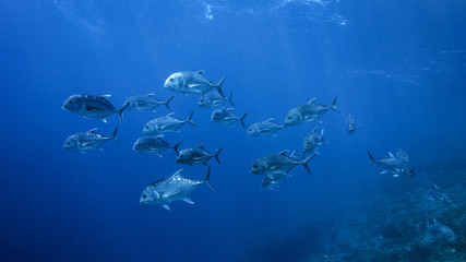 Wolf Pack (Trevally)