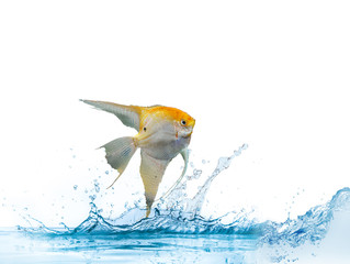 pesce angelo scalare