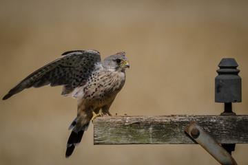 Fotoväggar - UK wild landing Kestrel
