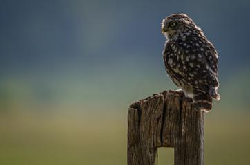 Fotoväggar - UK wild Sunny Llittle Owl