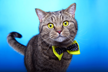 Beautiful stylish british cat. Animal portrait. British cat with bow-tie is lying. Blue background. Colorful decorations. Collection of funny animals