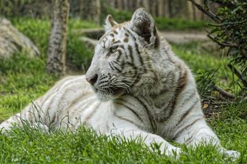 Tigre blanc majestueux
