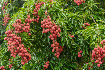 Bunch of lychees