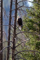 Bald Eagle perched above the Salmon River near Stanley, Utah