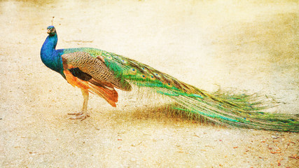 Beautiful peacock with drawn filter effect and vintage colors