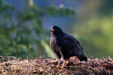 Common Black Hawk on the banks of Oak Creek in Sedona, Arizona