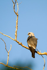 Mississippi Kite in Palo Duro Canyon State Park in the Texas Panhandle