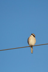 Northern Shrike, a predatory songbird, against blue sky in New Mexico