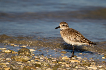 Plover at dawn on Florida's Gulf Coast in spring