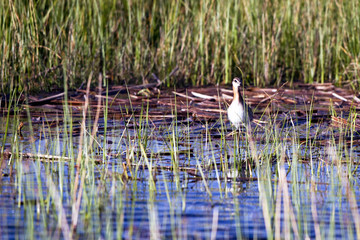 Wilson's Phalarope hunts in the marsh at Alamosa National Wildlife Refuge in Colorado