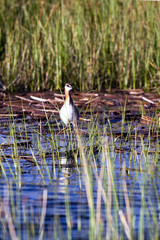 Wilson's Phalarope hunts in the marsh at Alamosa National Wildlife Refuge in Colorado