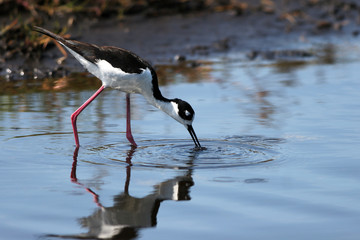 Black-necked Stilt hunts a meal in a coastal Florida marsh, with reflections
