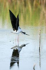 Black-necked Stilt stretches his wings in a coastal Florida marsh, with full reflection