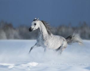 Galloping grey arabian horse on snow field