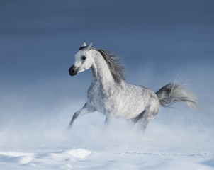 Printed roller blinds Artist KB Purebred grey arabian horse galloping over meadow in snow