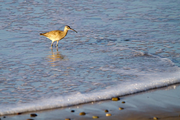 Whimbrel, a sandpiper, on the Pacific Coast near Malibu, California