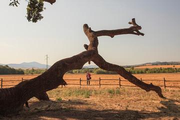Maestosa quercia, tronco spezzato