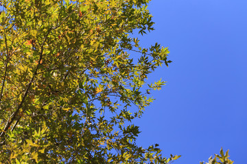 Blue sky with green leaves of sycamore tree background.