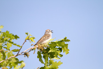 Chipping Sparrows sings in spring against a blue New Mexico sky