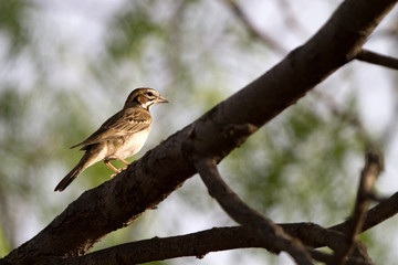 Lark Sparrow in a mesquite tree in Palo Duro Canyon State Park in the Texas Panhandle