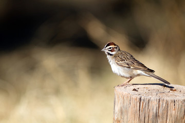 Lark Sparrow in Palo Duro Canyon State Park in the Texas Panhandle