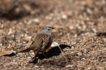 White-crowned Sparrow eats seed on the ground in autumn