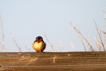 Barn Swallow rests on a wood-rail fence in spring