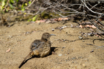 California Thrasher on the ground in Malibu, California