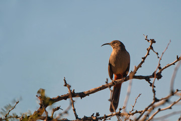 Rare Crissal Thrasher at dawn in southern New Mexico