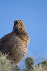 Curve-billed Thrasher at dawn on a Cholla cactus in Arizona's Sonoran Desert
