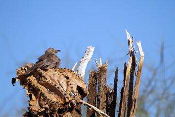 Juvenile Curve-billed Thrasher in a dead Saguaro cactus in southern Arizona
