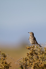 Sage Thrasher in autumn in the San Luis Valley of southern Colorado