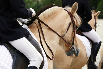 Close up of a fjord horse on a dressage event