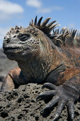 Marine iguana on the stone. Close-up. Galapagos Islands.